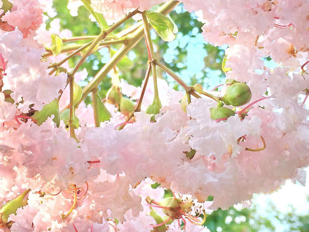サルスベリのピンクの花弁の隙間から青空がのぞいて