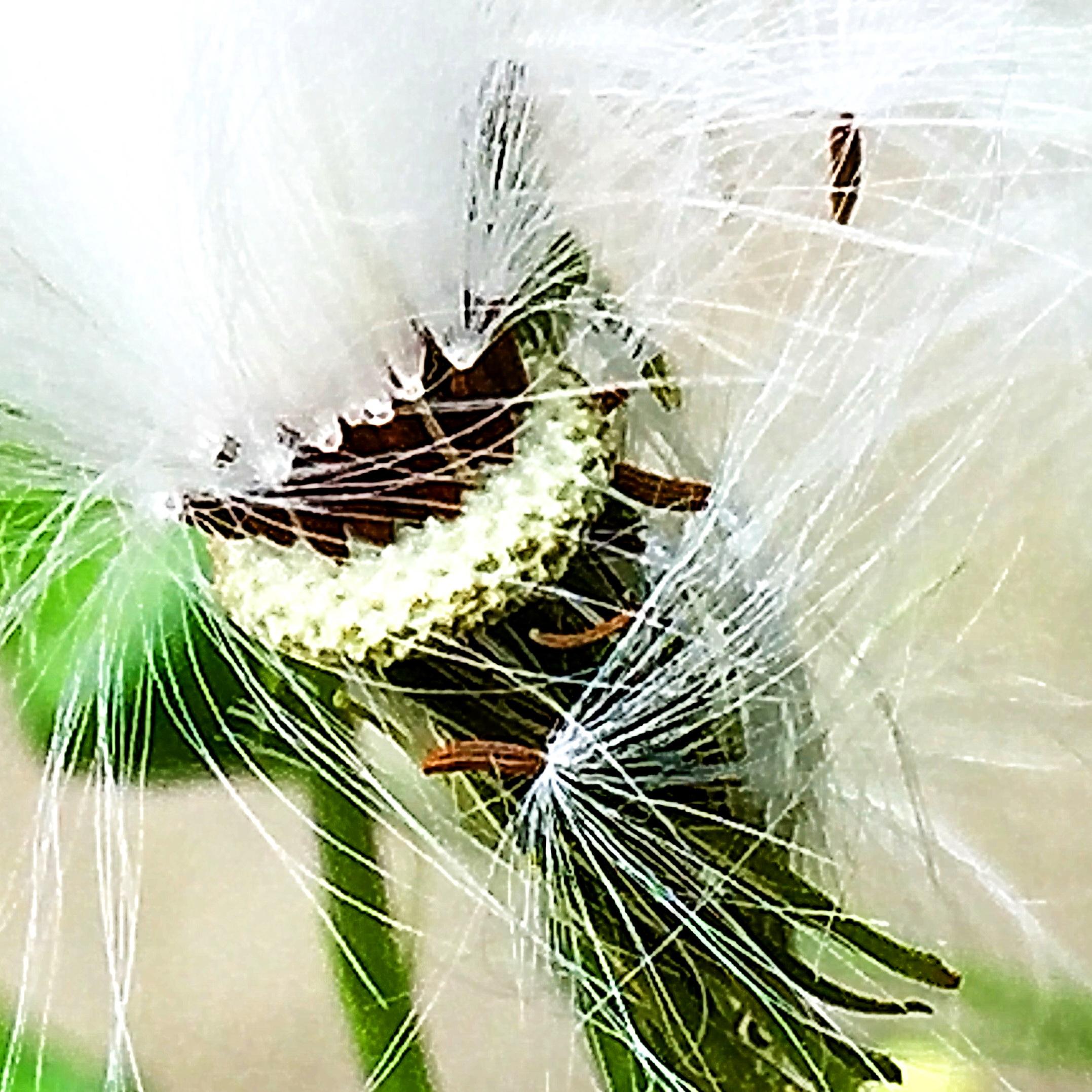 ダンドボロギク(段戸襤褸菊)
