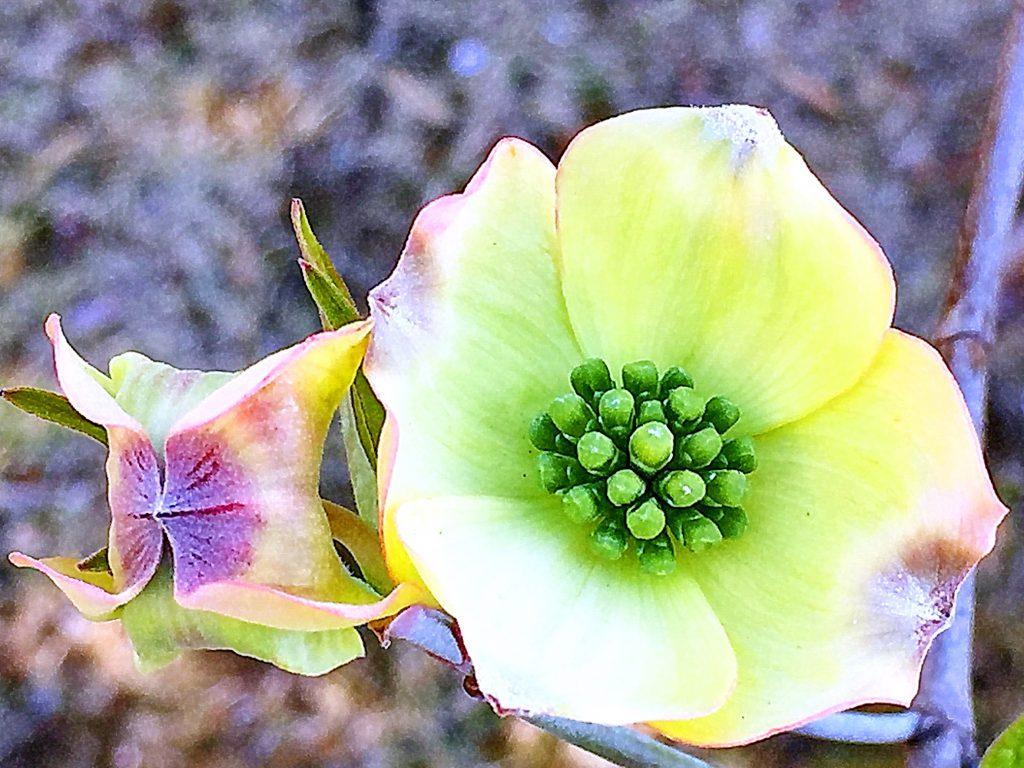 花弁のような総苞片、緑色の部分がハナミズキの花