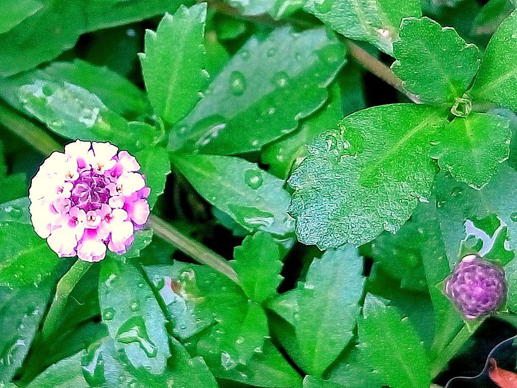 細い楕円形で先半分に鋸歯があるヒメイワダレソウの葉