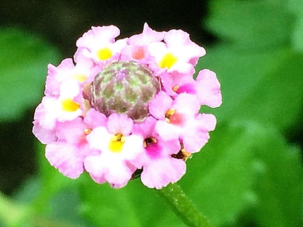 穂状花序に唇形花を多数つけ球形の花序を付けるヒメイワダレソウ