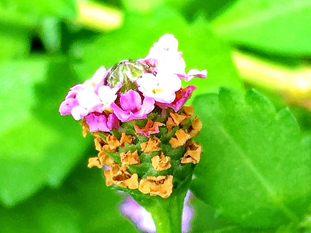 ヒメイワダレソウは種を付けません。