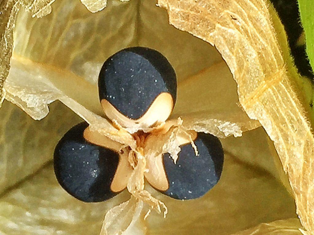熟したフウセンカズラの果実