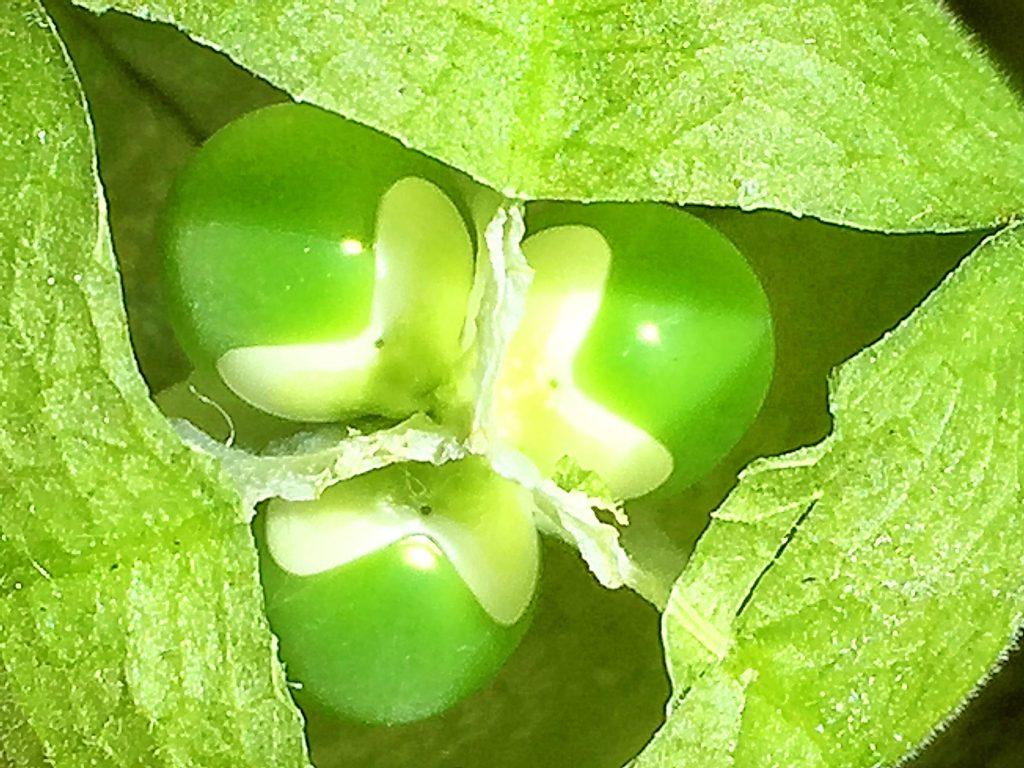 まだ未熟な薄緑色のフウセンカズラの果実