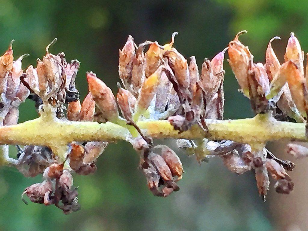 紡錘形で熟すと2裂、中に細かな種子が沢山入っているフサフジウツギの果実