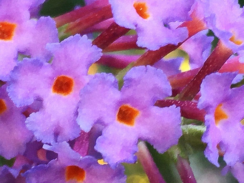 先が4裂してさらに細かく裂けて平開するフサフジウツギの花