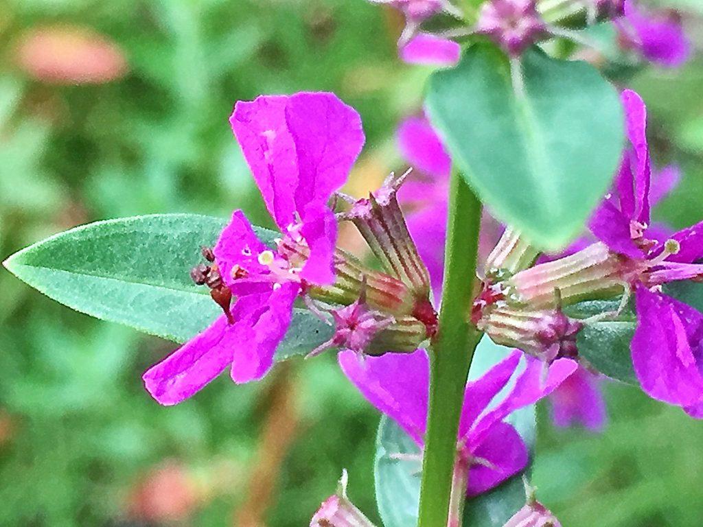 4~6枚の花弁の花を枝腋に3~6個付けるミソハギ(禊萩)