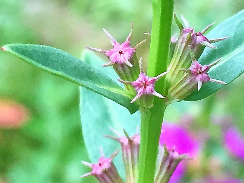 ミソハギ(禊萩)萼と萼の間に針のような付属片があります。