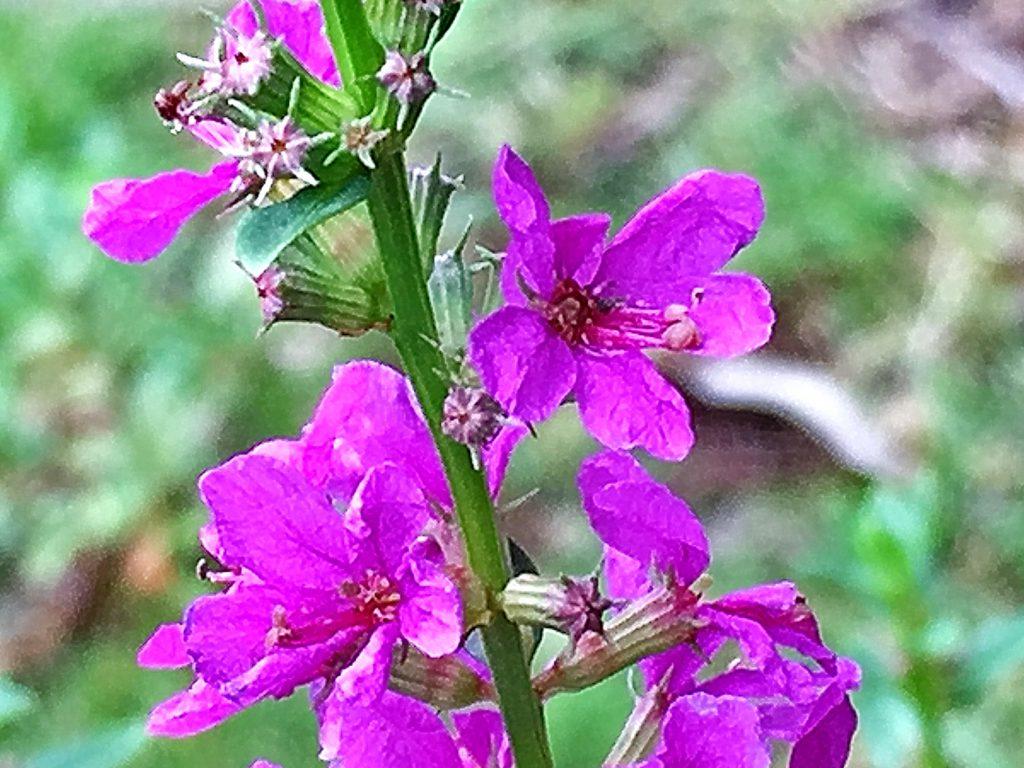 ミソハギ(禊萩)の花は凸凹