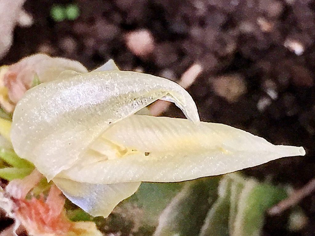 1日花、おおきさのちがう3枚のミョウガの花弁