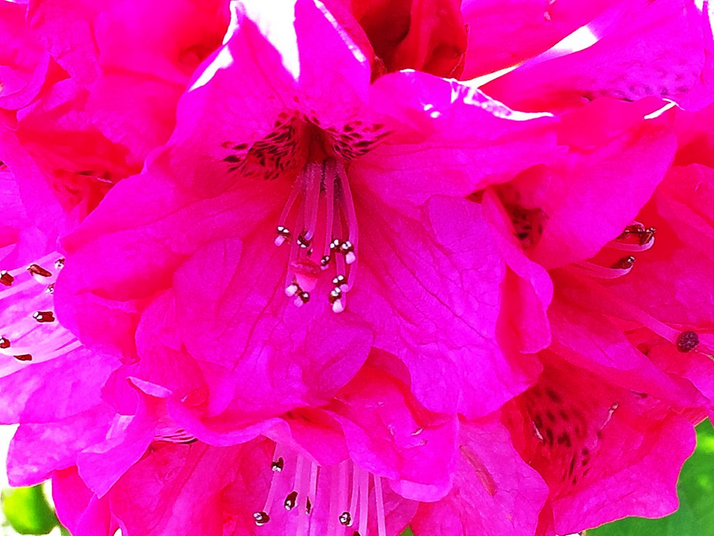 花木の女王、セイヨウシャクナゲ(西洋石楠花)