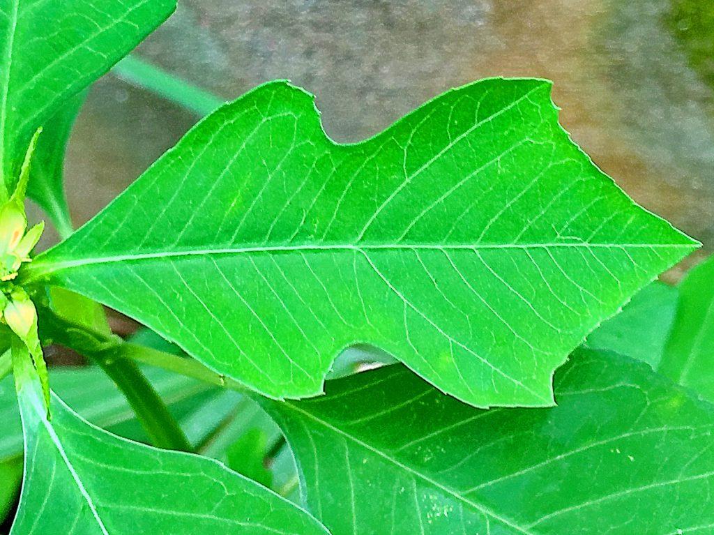 ショウジョウソウの上部に集まって苞状に付く切れ込みの入った葉。