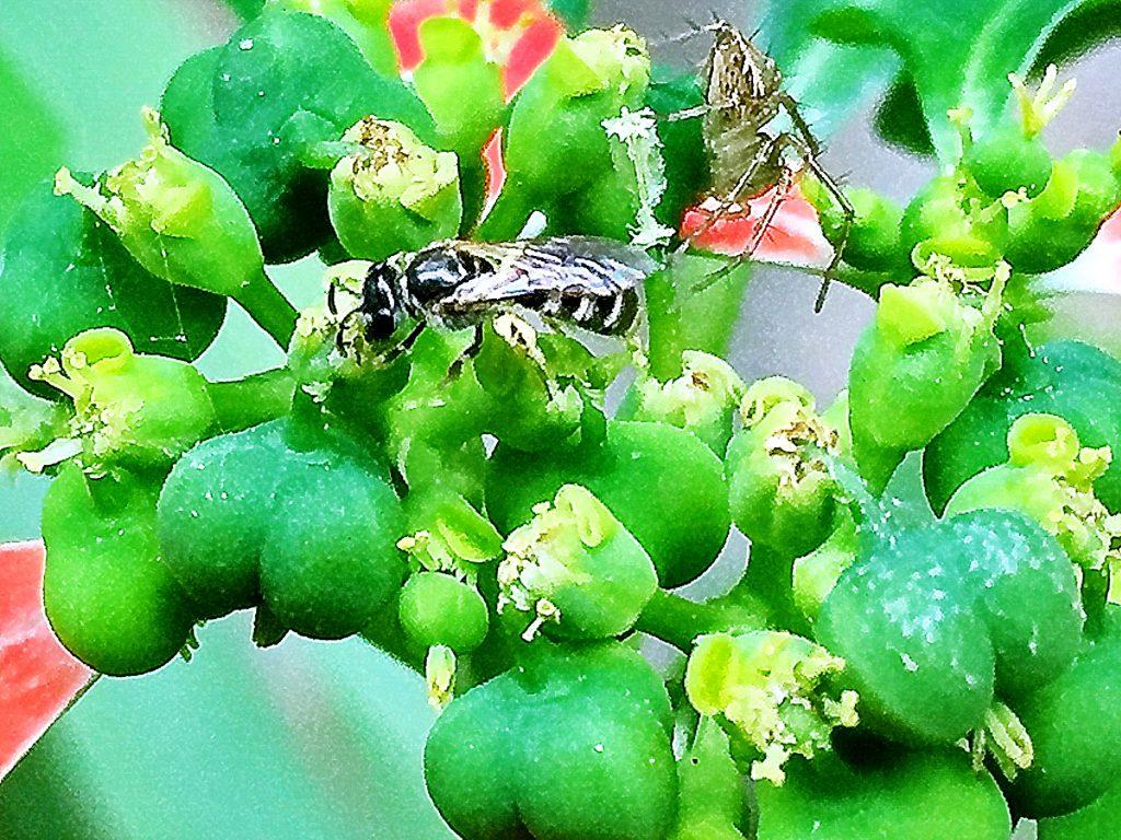 ショウジョウソウの雄花の横の楕円形の壺のような蜜腺にきた虫たち