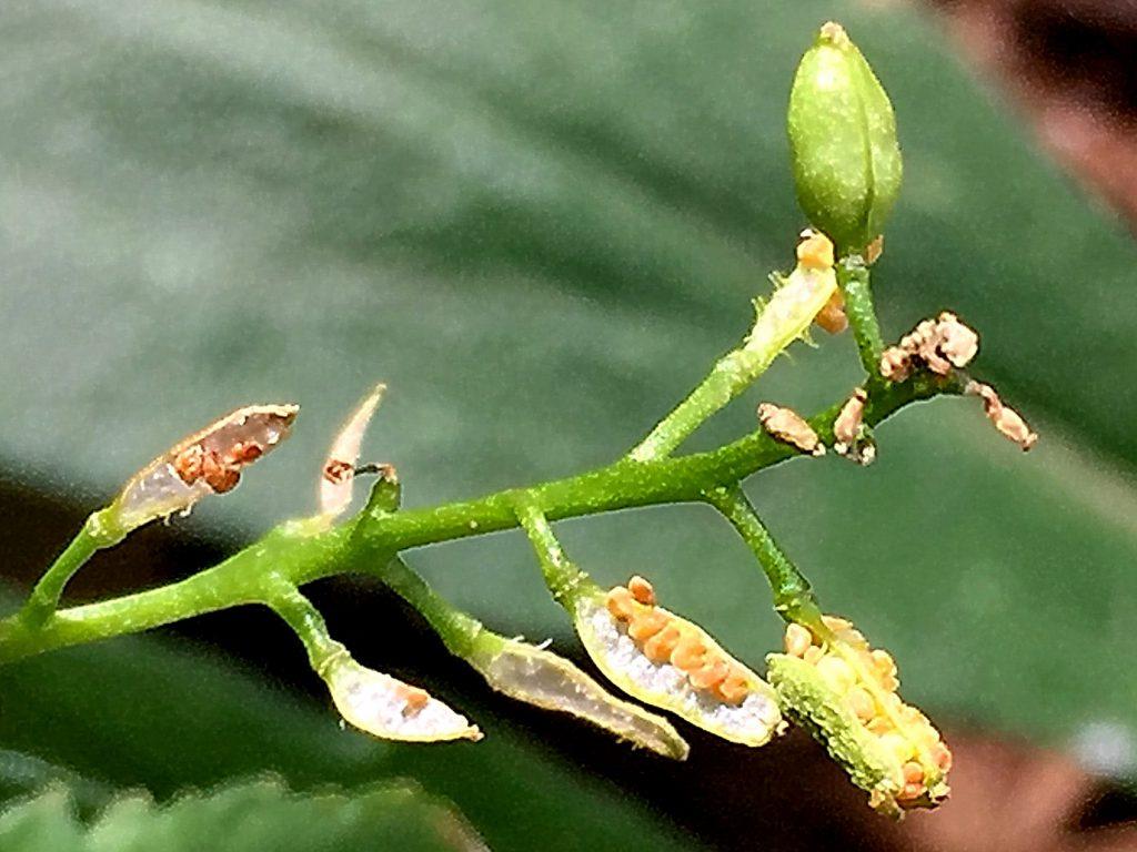 スカシタゴボウの隔膜で2室に分かれている短角果、種がこぼれています