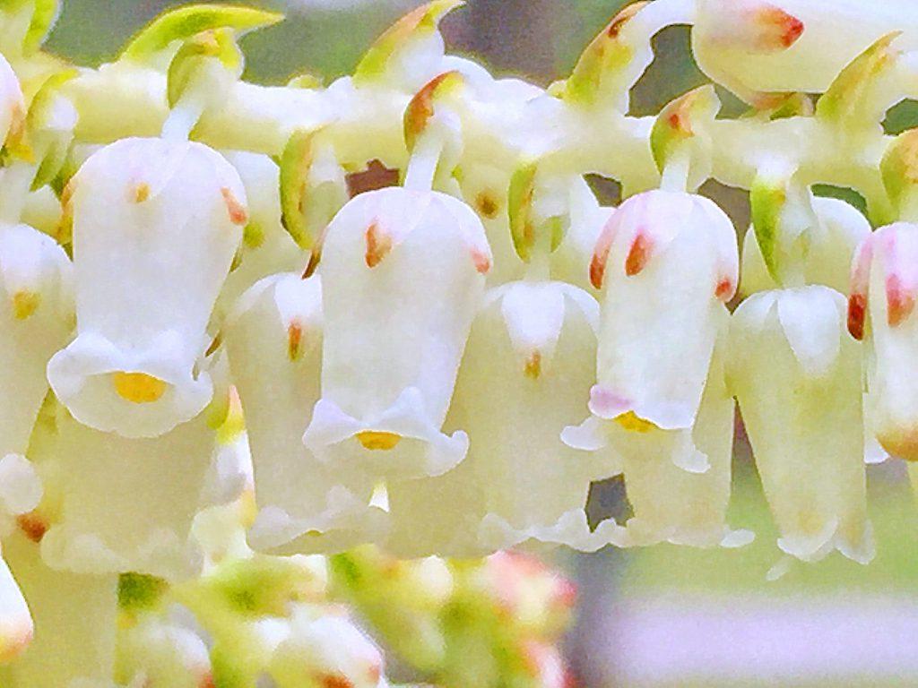 セイヨウイワナンテン・レインボーの白色の小さな壺形の総状花序