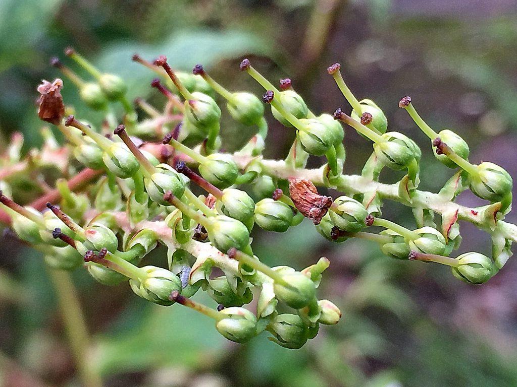 セイヨウイワナンテン・レインボーの果実、熟すと下部が裂け種子が散布されます