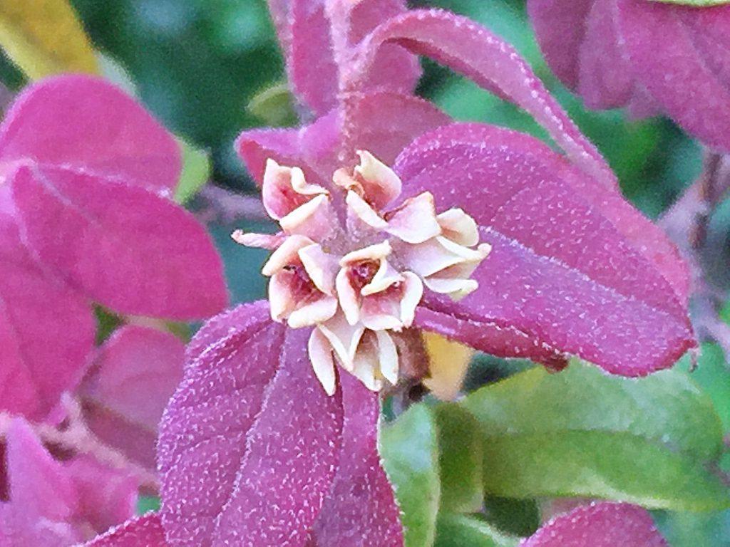 花が落ちた後のベニバナトキワマンサク