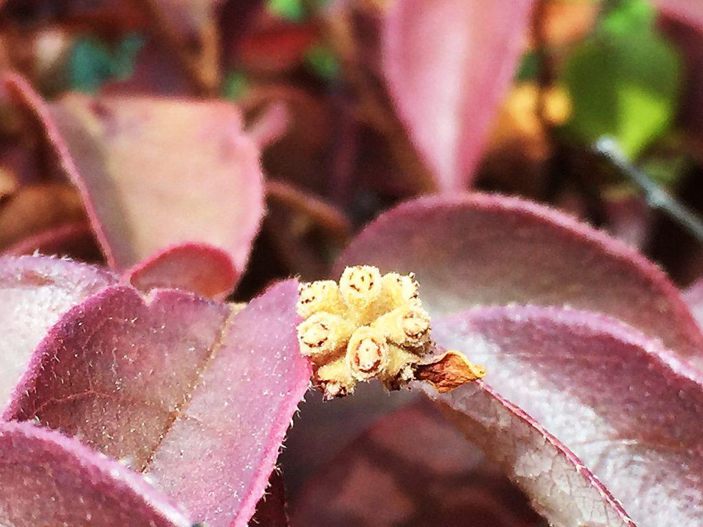 赤紫色のベニバナトキワマンサクの葉