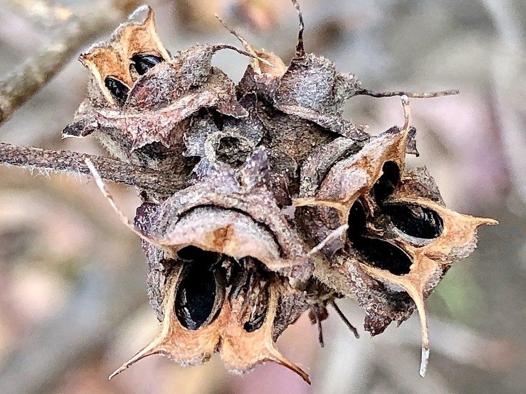 トサミズキの種子