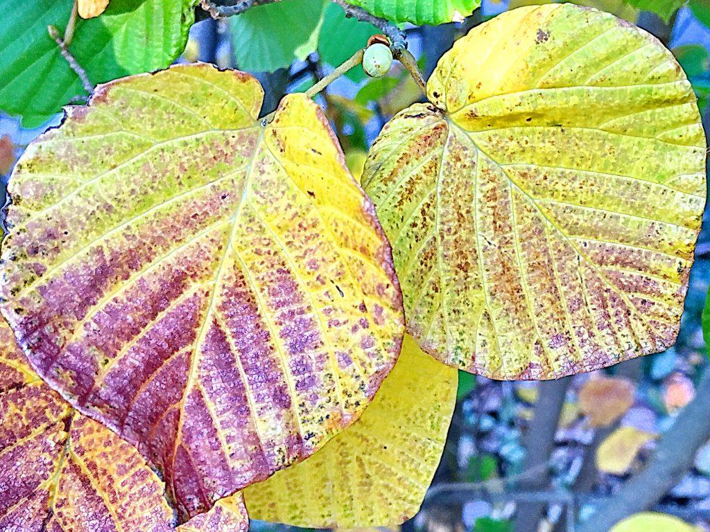色づいてきたトサミズキの葉