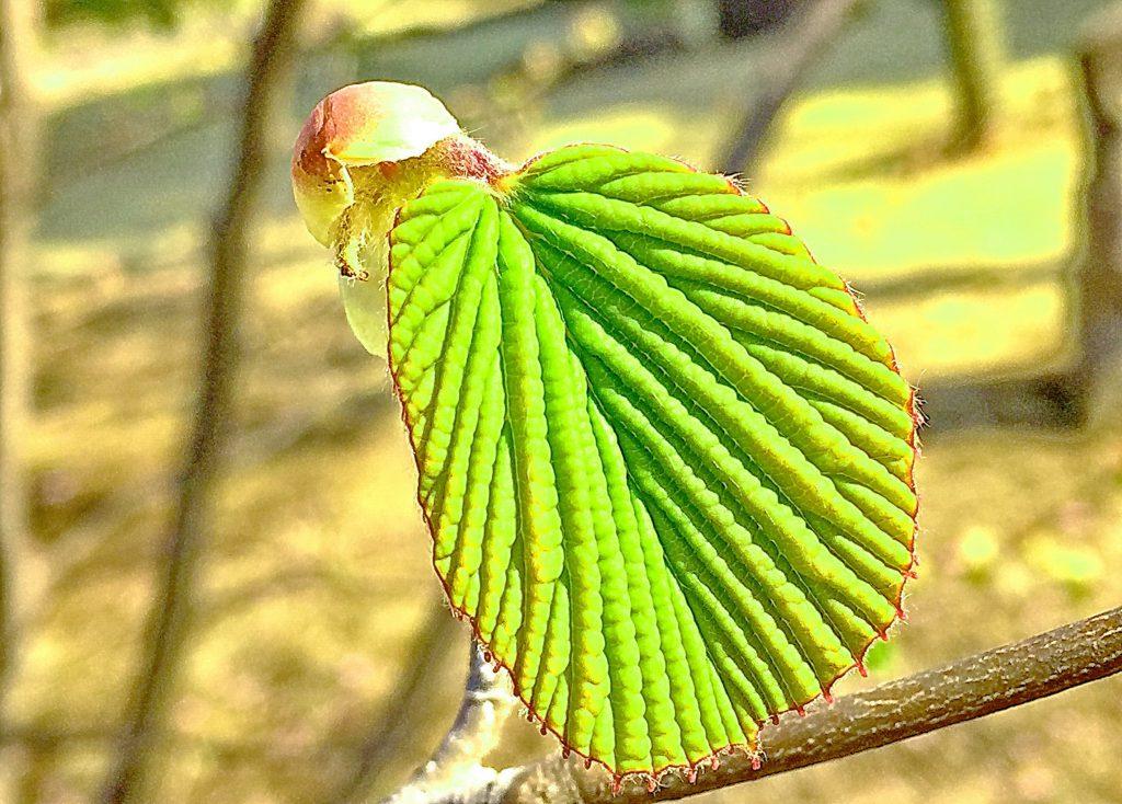 円形葉脈に沿って凹凸が顕著で、鋸歯が顕著なトサミズキの葉