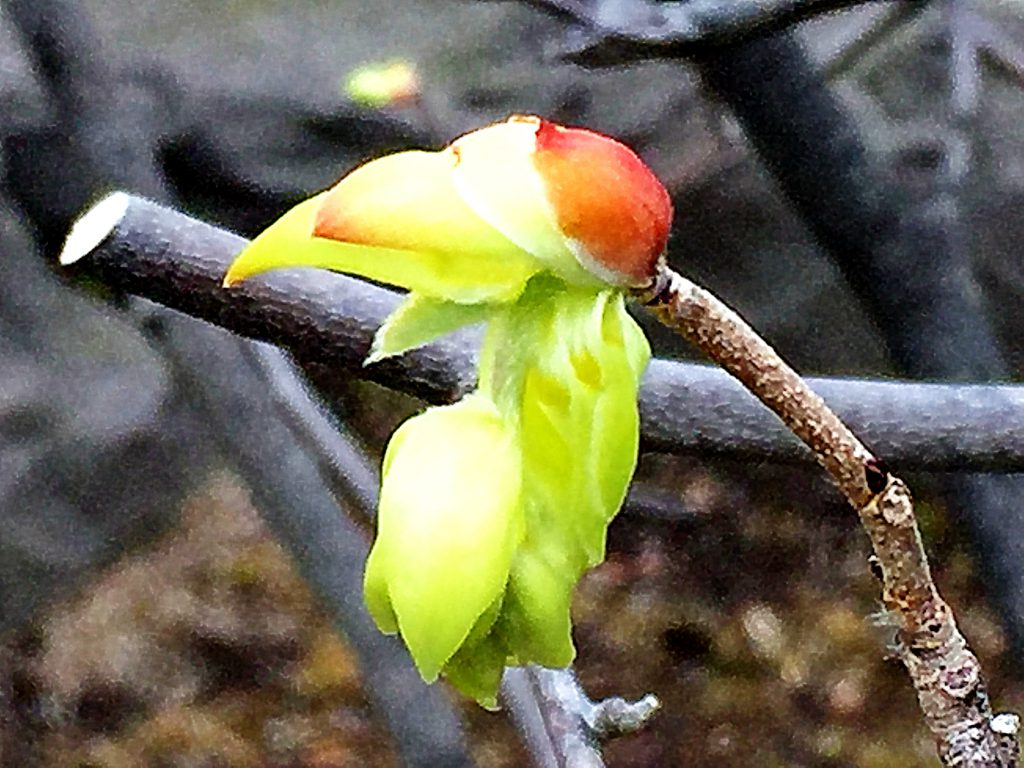 葉に先立って枝先に長さ8cmほどの穂状花序が垂れ下がるトサミズキ
