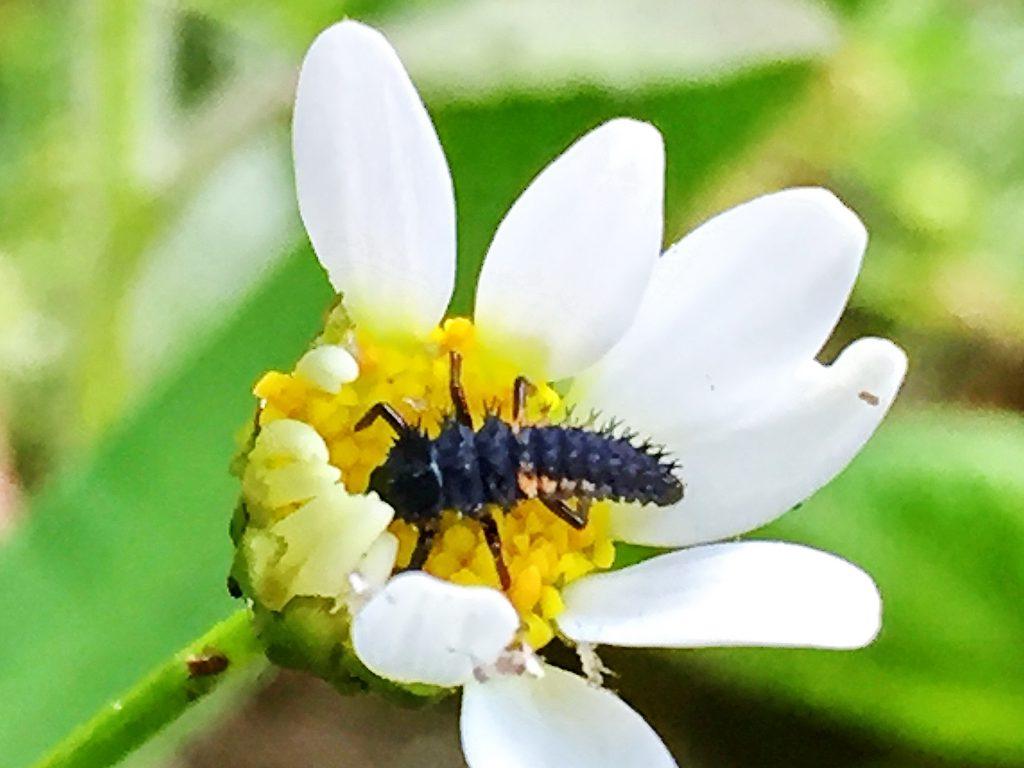 ナミテントウ終齢幼虫