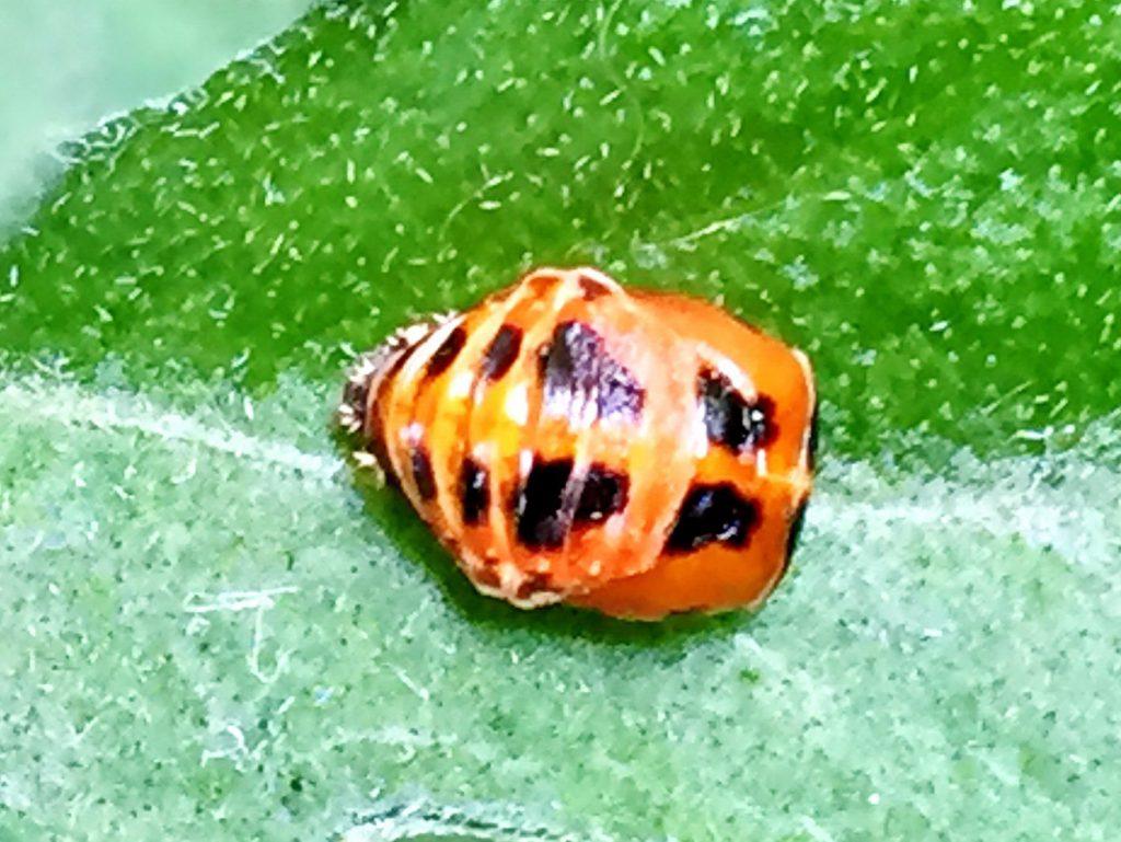 ナミテントウの蛹、蛹期間は6~8日。白いものは終齢幼虫の背中にあった刺の残骸
