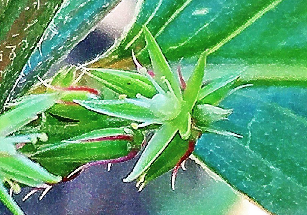 ヒナタイノコヅチ(日向猪子槌)の花