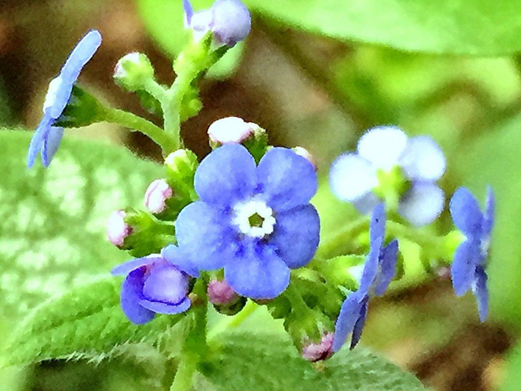 ブルンネラ・ジャックフロストの花
