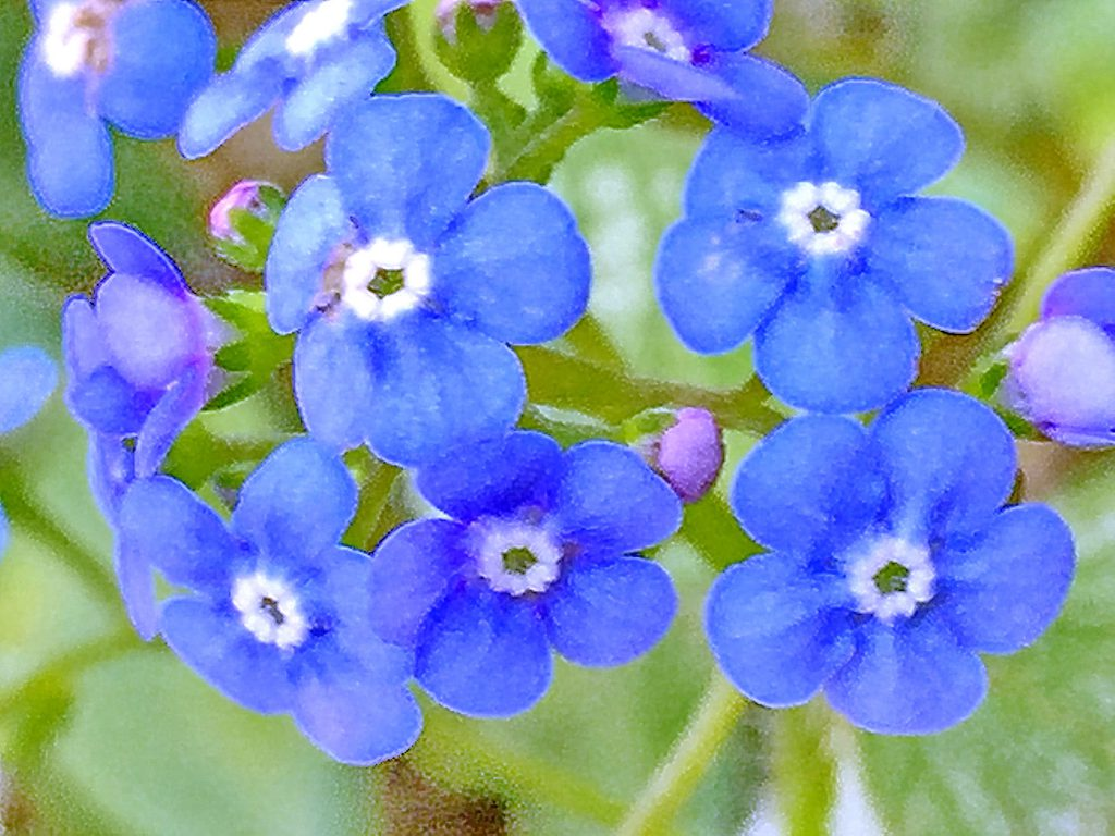 青色に白色の副冠、ブルンネラ・ジャックフロスト