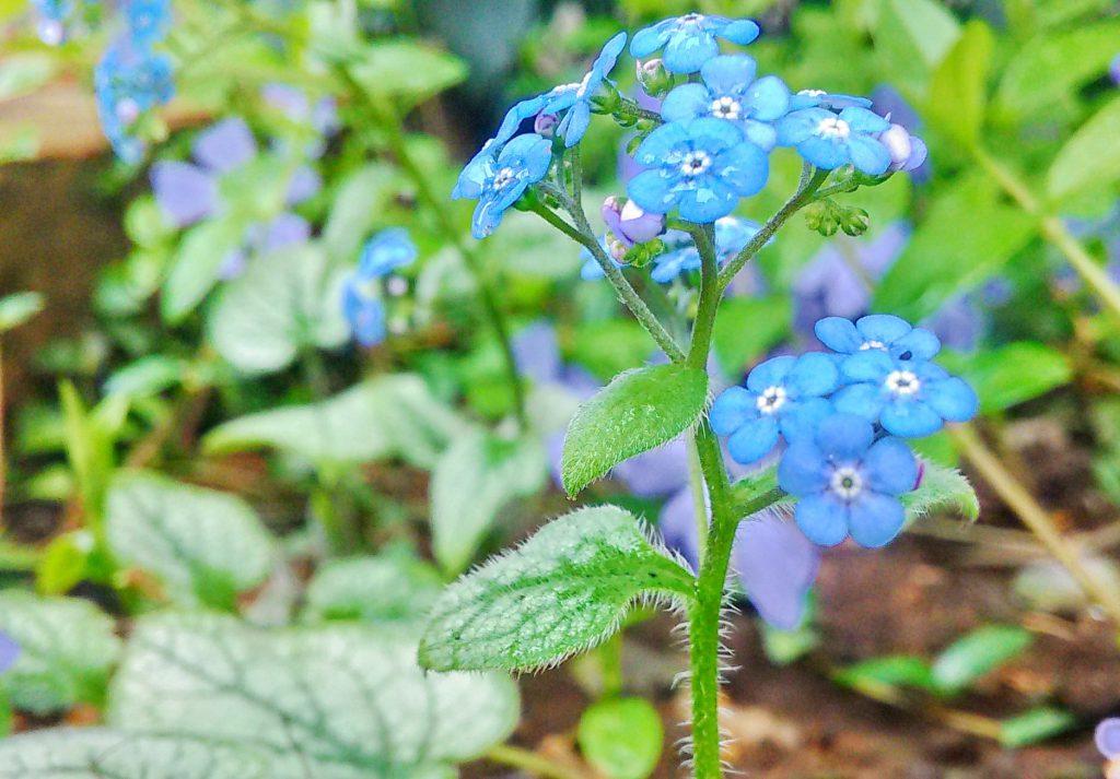 青色が涼やかなブルンネラ・ジャックフロスト