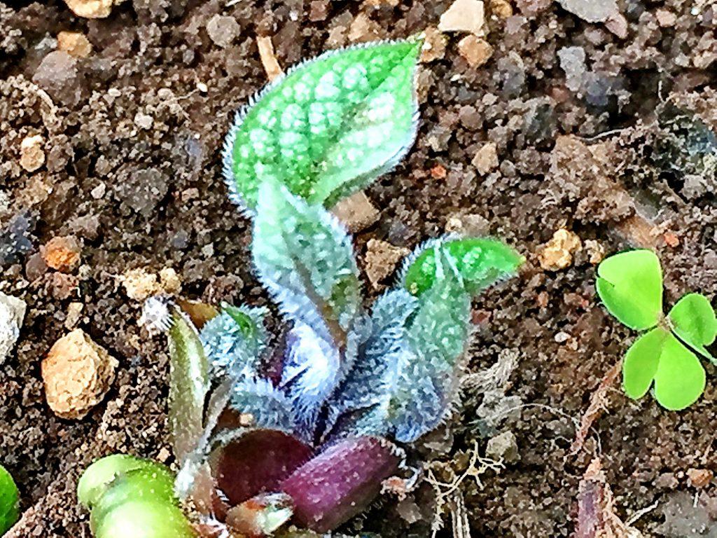 白い毛に覆われた新しい葉、ブルンネラ・ジャックフロスト