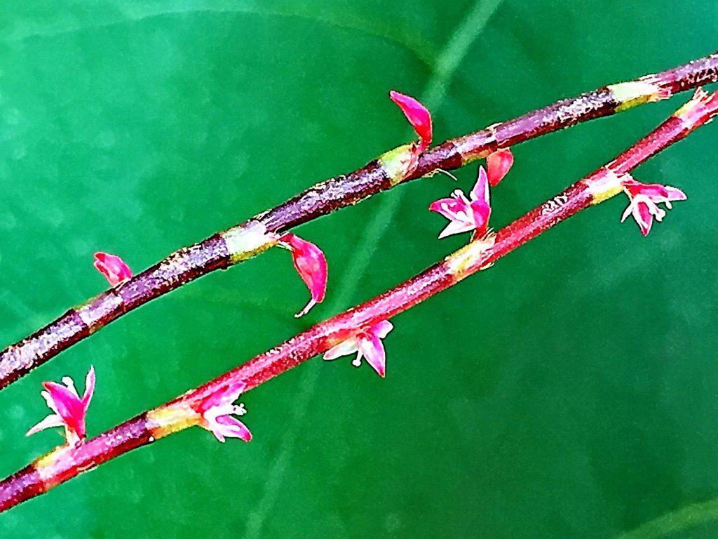 ミズヒキ(水引)、上半分が赤色、1枚が白色の花弁のように見える萼が3枚が