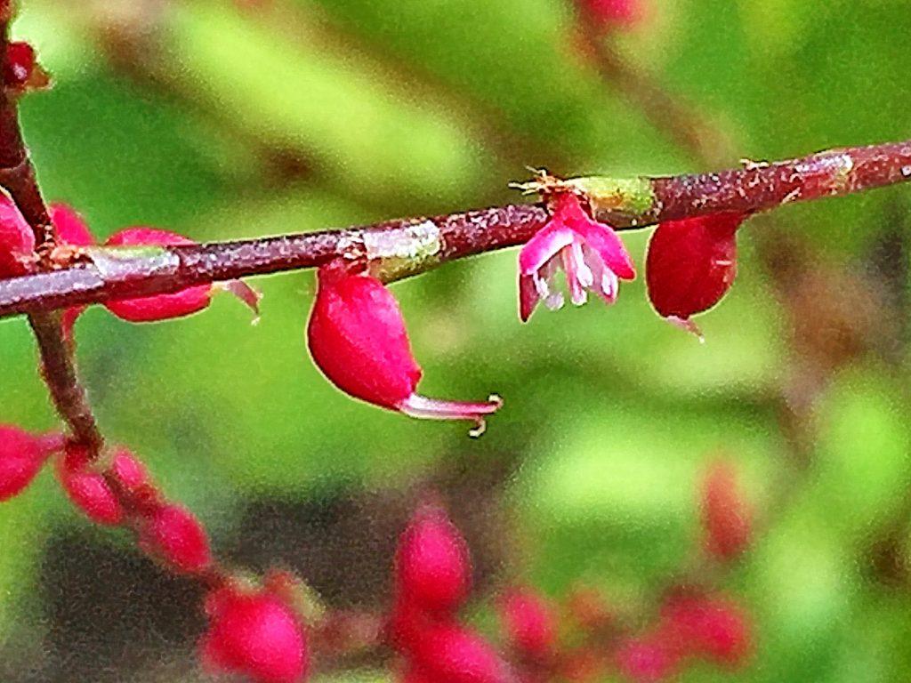ミズヒキ(水引)の花と果実