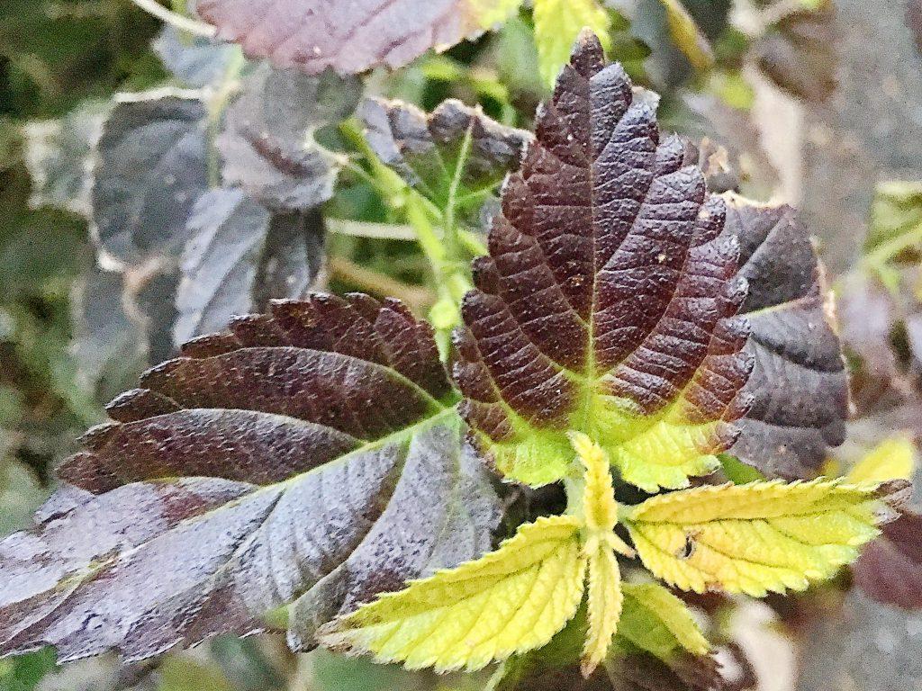 ランタナ 冬の葉