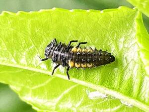 ナミテントウの3齢幼虫