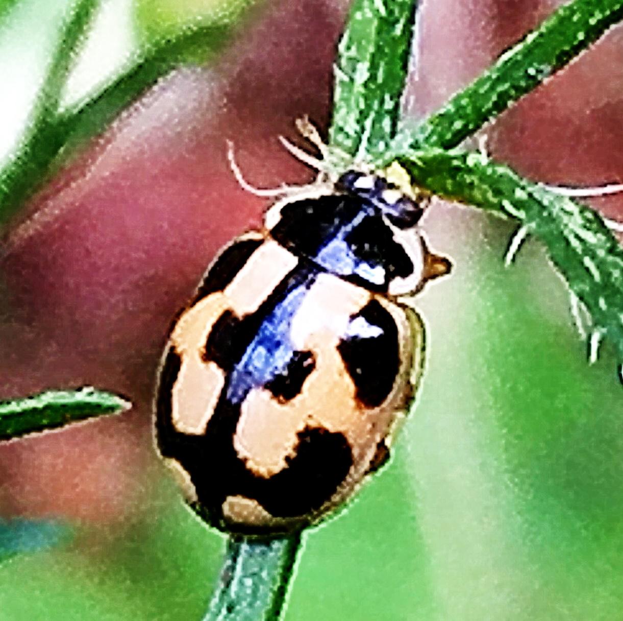 ヒメカメノコテントウ 亀甲型、基本型 雌