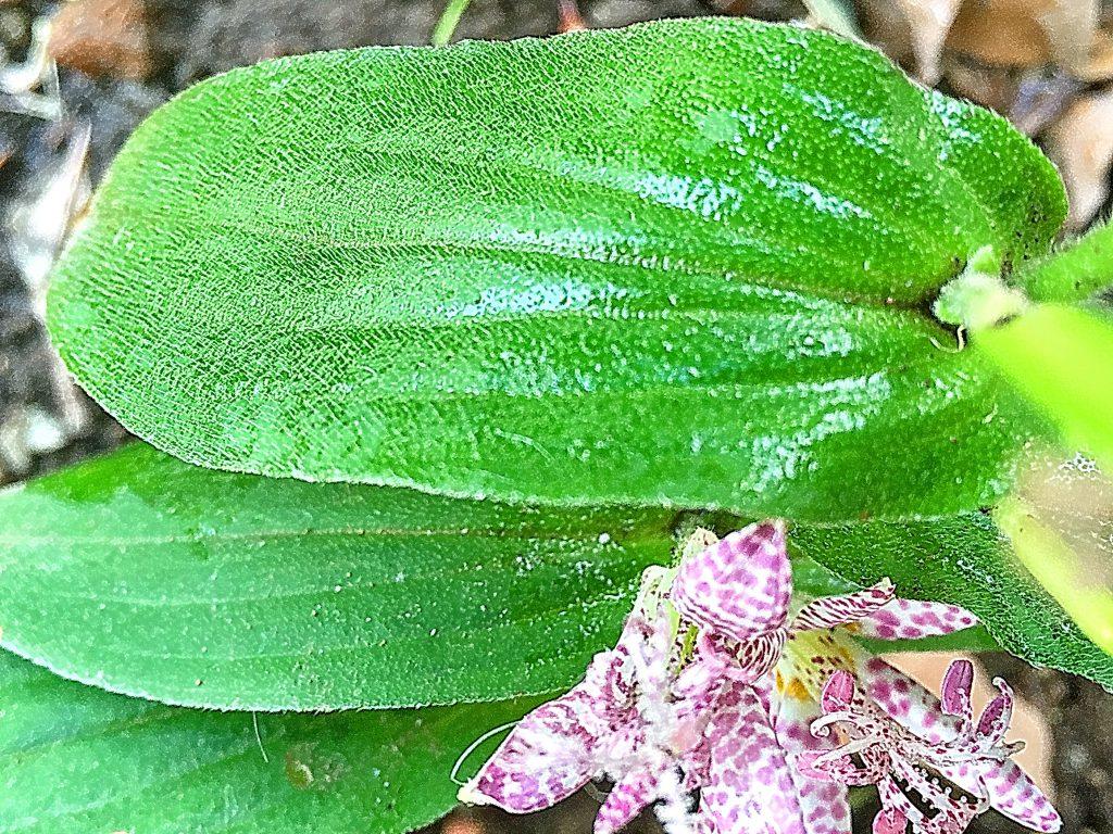 長楕円形で両面に毛が生え、葉脈が縦に並ぶホトトギスの葉