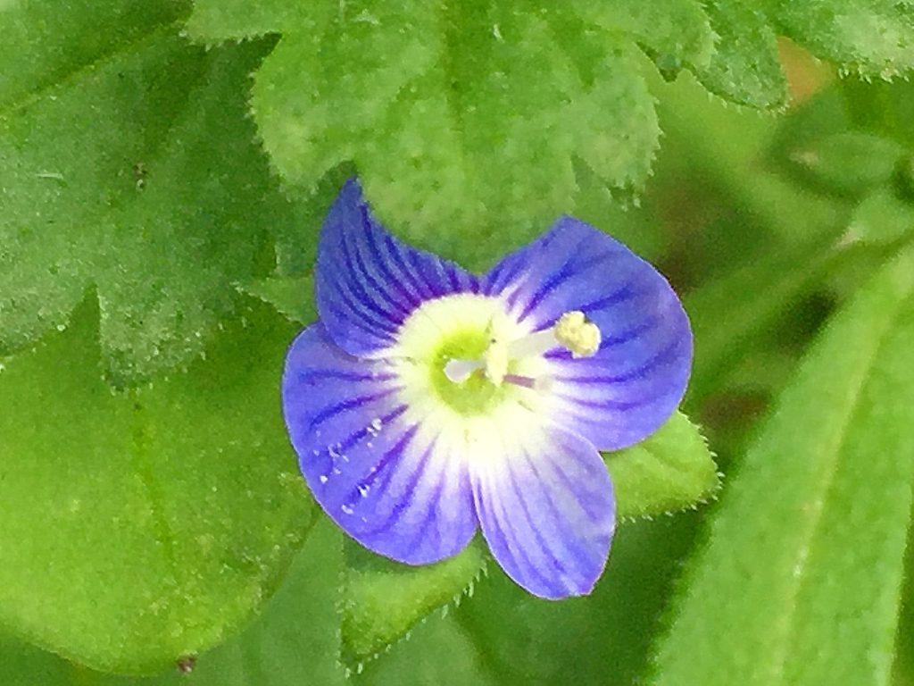 オオイヌノフグリの花、雌しべを挟むようにある2本の雄しべから花粉が零れています