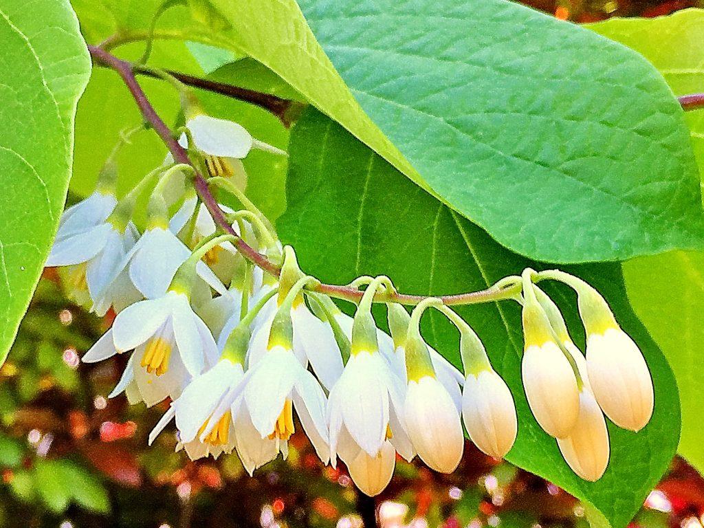 この花が連なった様子を雲に見立てて「白雲木」の名gatukimasita