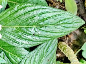 ペンタスの葉
