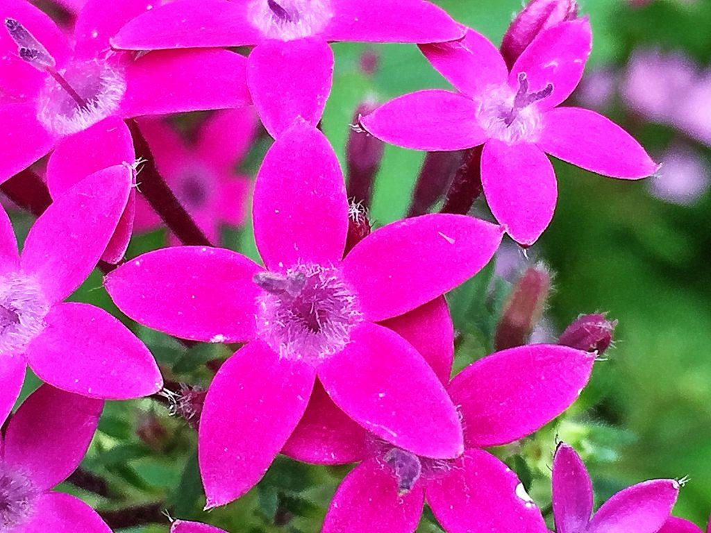 濃い色の葉と鮮やかな小さな星型の花が目立つペンタス
