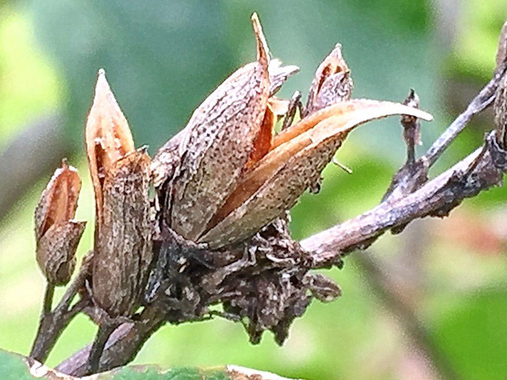 ライラックの果実は裂開して種を散布する