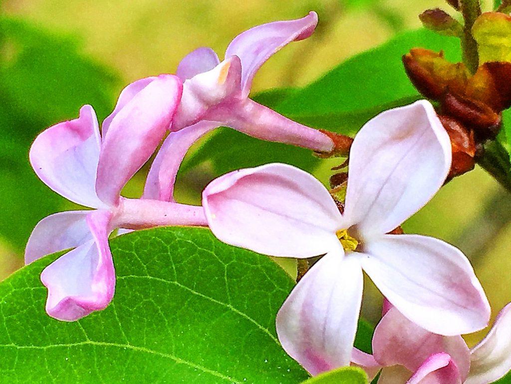 ライラックの雄しべは2本、雌しべも雄しべも花冠の中におさまっています。