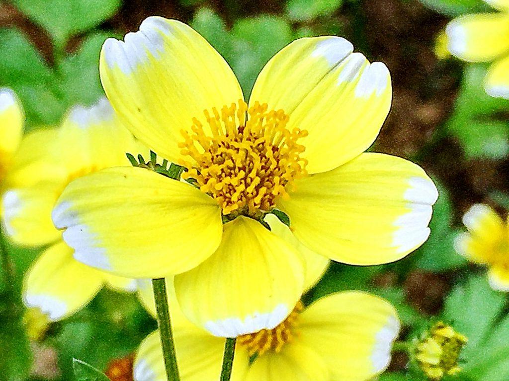 ウインターコスモスの花柱は花粉を出し切るとY字型になり更にM字型に