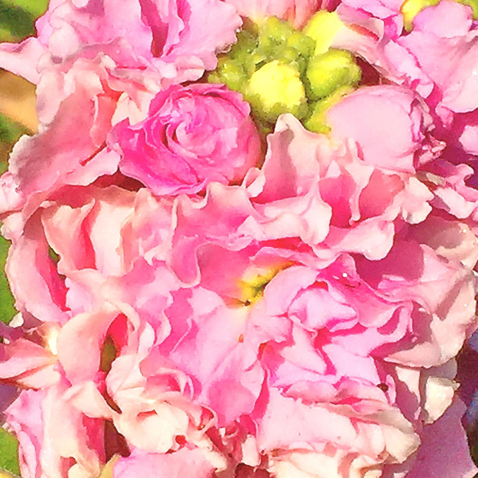 八重咲ストックの花
