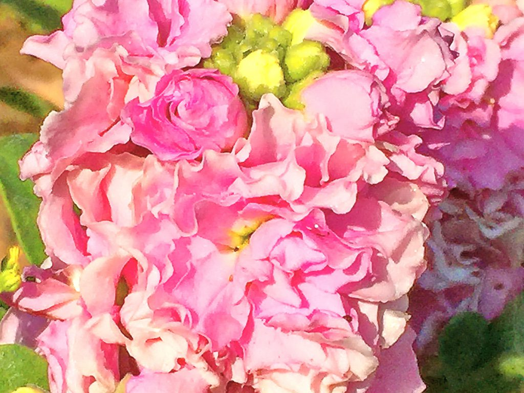 2~3cmの花が溢れるように重なって豪華名八重咲のストック