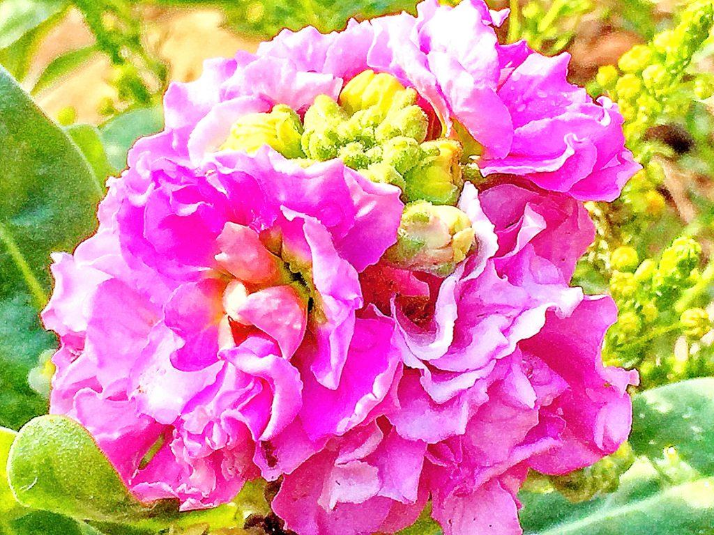 華やかなピンク色の八重咲のストック