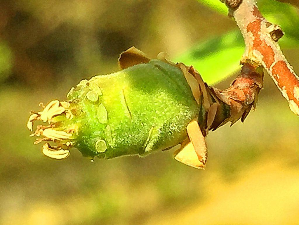 ソシンロウバイ(素心蝋梅)雄しべが残った若い果実